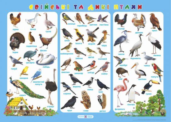 Плакат «Свійські та дикі птахи»